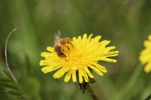 Yes, the common dandelion - but they are so bright and cheerful!