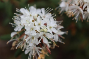 Labrador tea.  This grows plentifully on our property, has a heady lemony fragrance, and is high in antioxidants (used in tea).