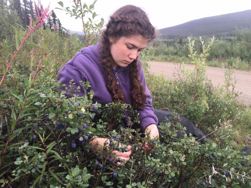 Picking blueberries, this time in the White Mountains