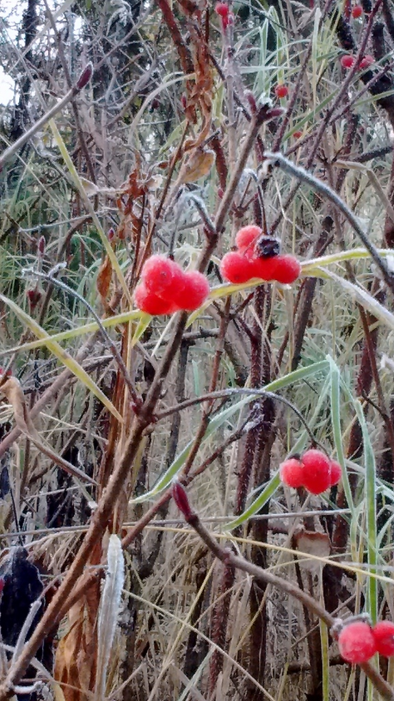 High bush cranberries (the ones we *didn't* eat the day before!), frosty with the morning's chill